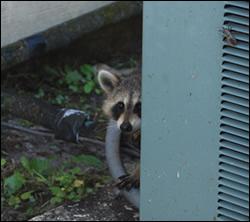 raccoon removal Thomasville
